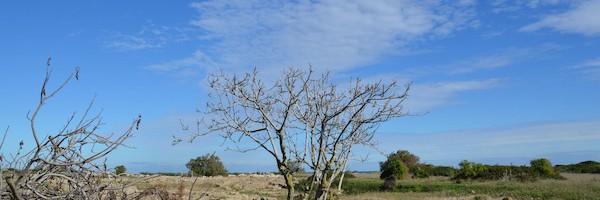 Einsamer Olivenbaum